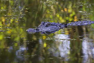 """fall"" gator 