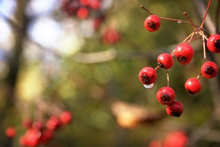 Red Berries | by whitneybee