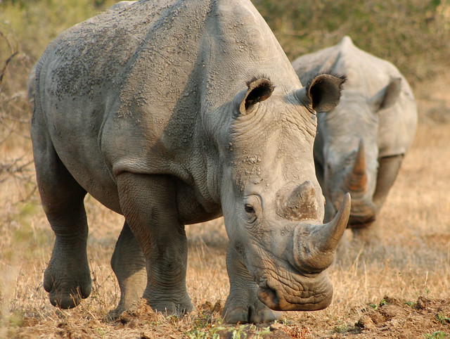 photo of white rhinos