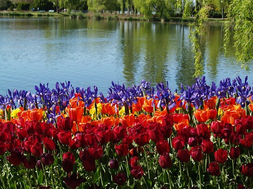 tulips by the Lake | by madbronny52