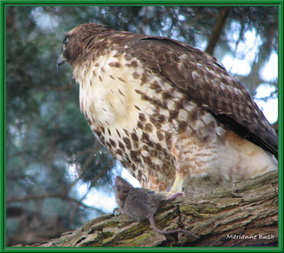 Red Tailed Hawk*** | by Hot Flash Photography