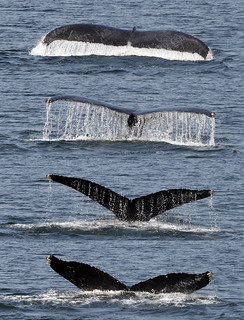 Humpback in Hunter Channel | by cc49