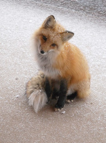 Snowy Fox | by Rob Lee