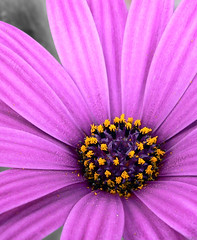 osteospermum | by julioc.