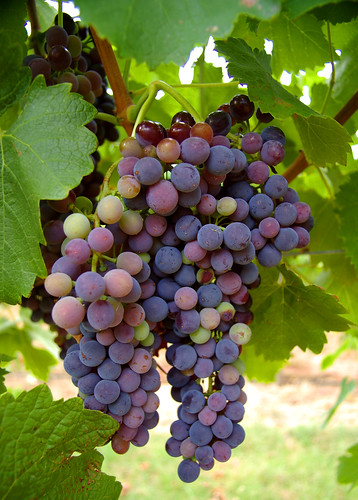 IMGP0548 - wine grapes rutherglen | by RaeAllen
