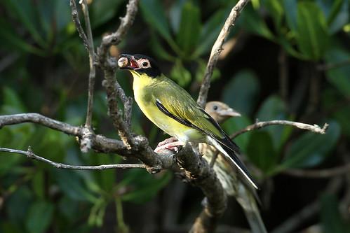Sphecotheres viridis ♂ (Figbird) - Australia