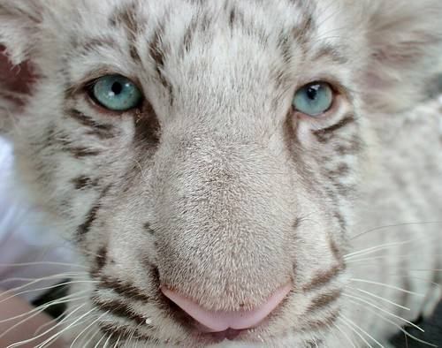 Feeding time for a baby white tiger | by Swamibu