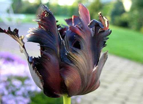 Black tulip | by maya_dragonfly