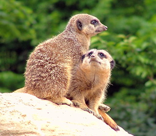 Meerkats - London Zoo, Regents Park, London, England - Sunday May 20th 2007 | by law_keven
