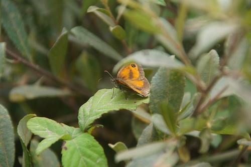 39 Vlinder