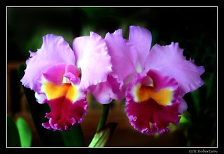 Huntington's Orchids | by Randy Son Of Robert