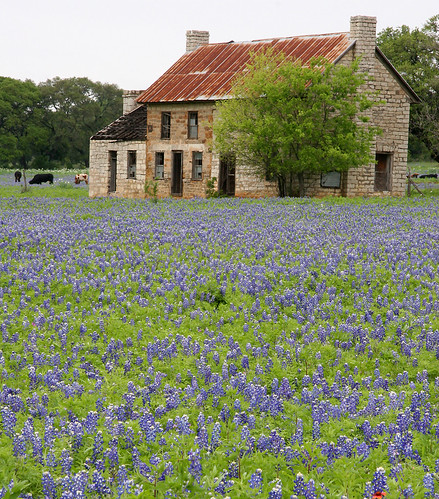 Hill Country Farmhouse With Bluebonnets Now Jumping