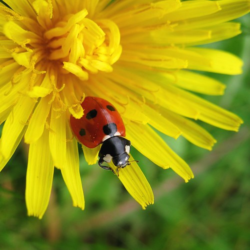 Ladybird, about to leave a dandelion | by nutmeg66