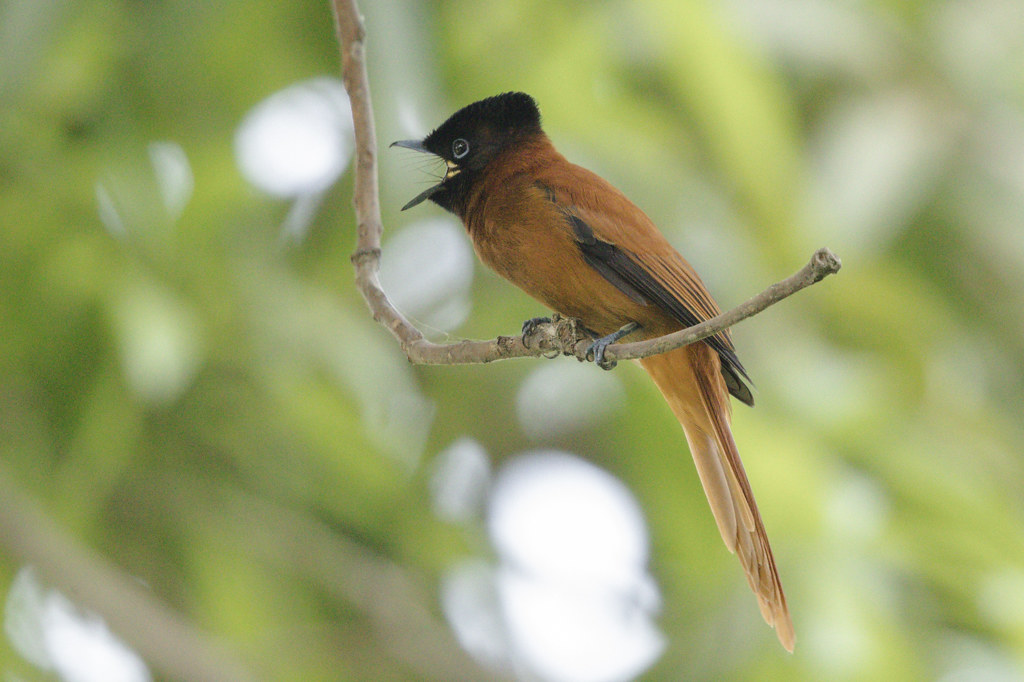 Red-bellied Flycatcher   Gambia 2016