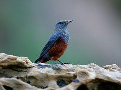 Blue Rock Thrush | by cheer2