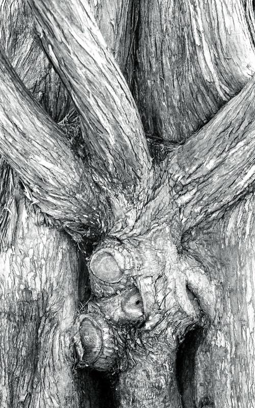 Cedar Texture_