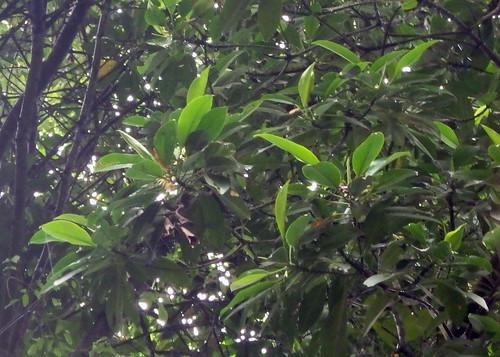 Bakau mata buaya (Bruguiera hainesii) flowering