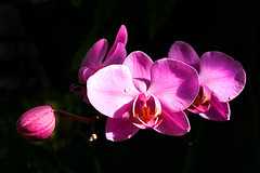 pink orchid | by picturesbydiann