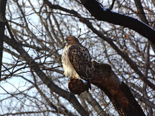 Riverside Red-Tail - 1002