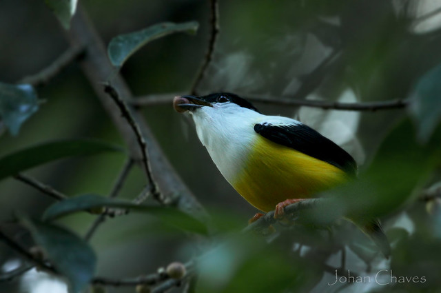 white collared manakin, a very common manakin specie on this side