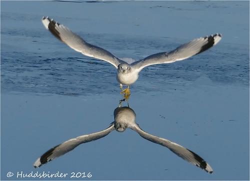 Common Gull 2-1300939