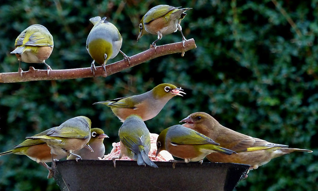 Waxeyes at the feeder.
