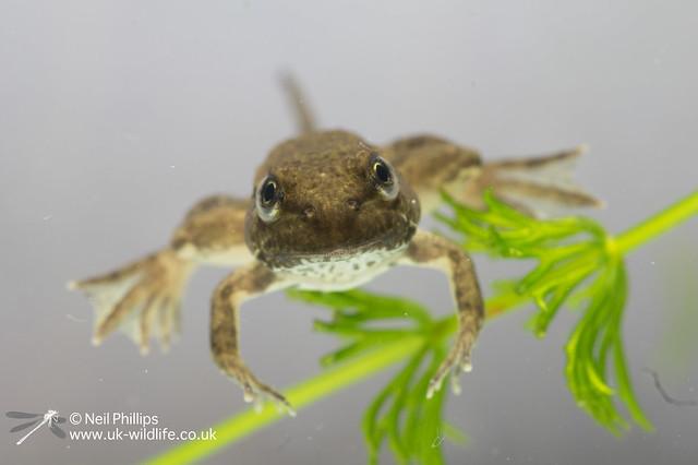50 marsh frog tadpole