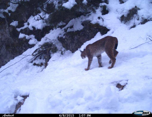Balkan Lynx in snow