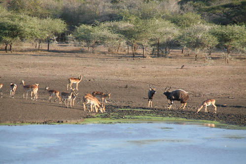 Nyalas and Impalas getting hydrated