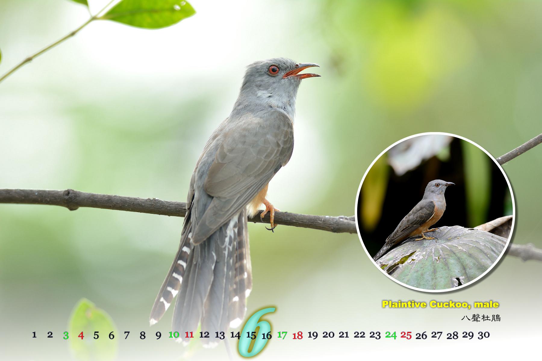 Thai Bird Calendar 2017_06