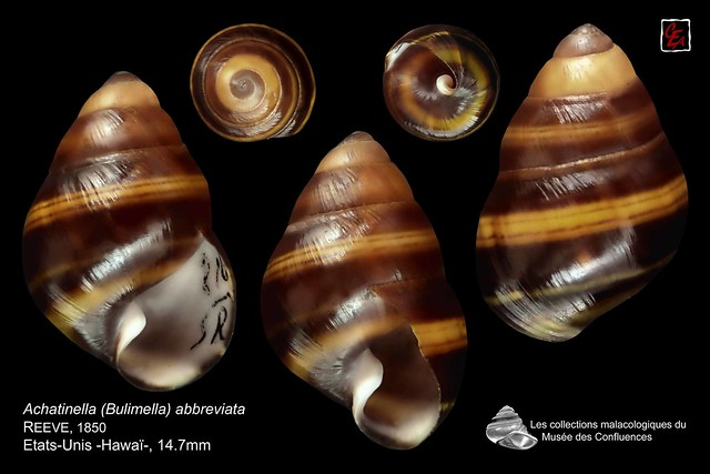 achatinella (bulimella) abreviatta3  hawai 14mm7