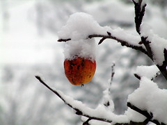 Winter Apple | by rabasz