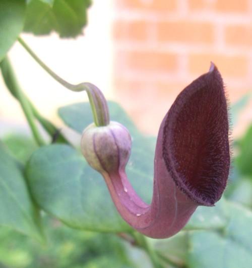 Aristolochia baetica 31234823283_2e951fd502_o
