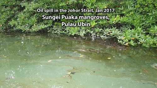 Oil spill in the Johor Strait (4 Jan 2017) at mangroves of Sungei Puaka, Pulau Ubin