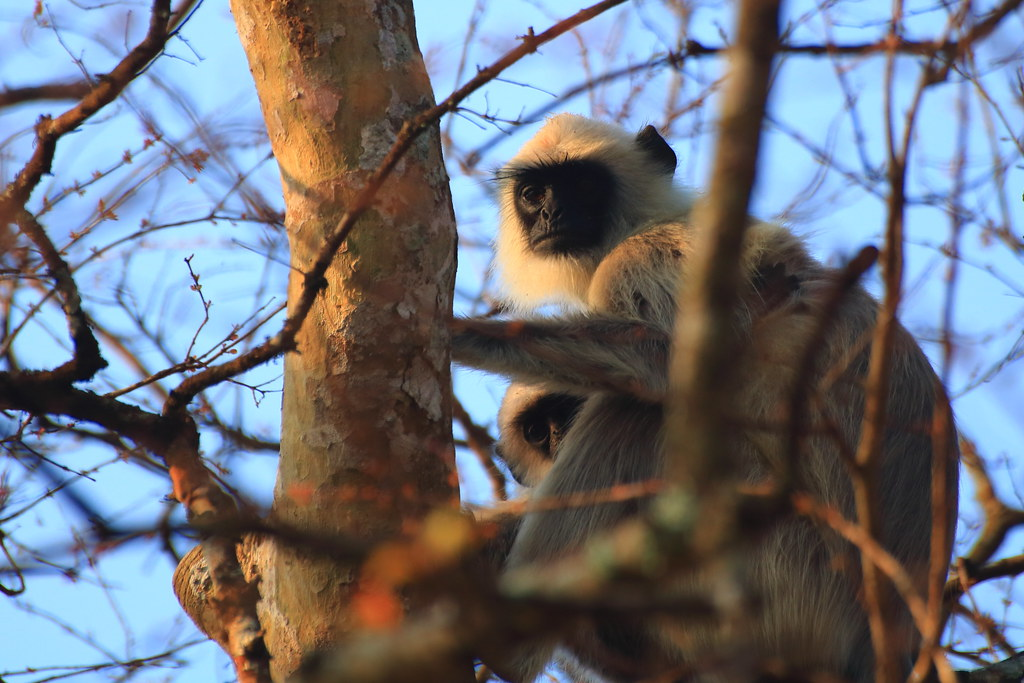 Langurs - mother and child