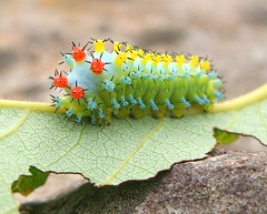 Cecropia Moth Caterpillar | by The Unpredictables