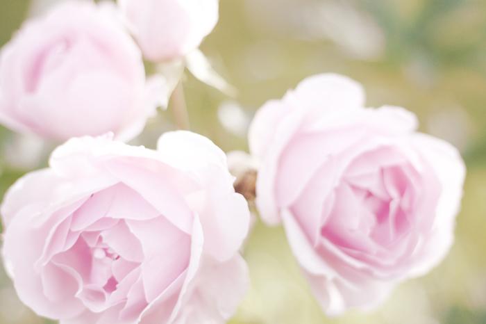 Roses 2009