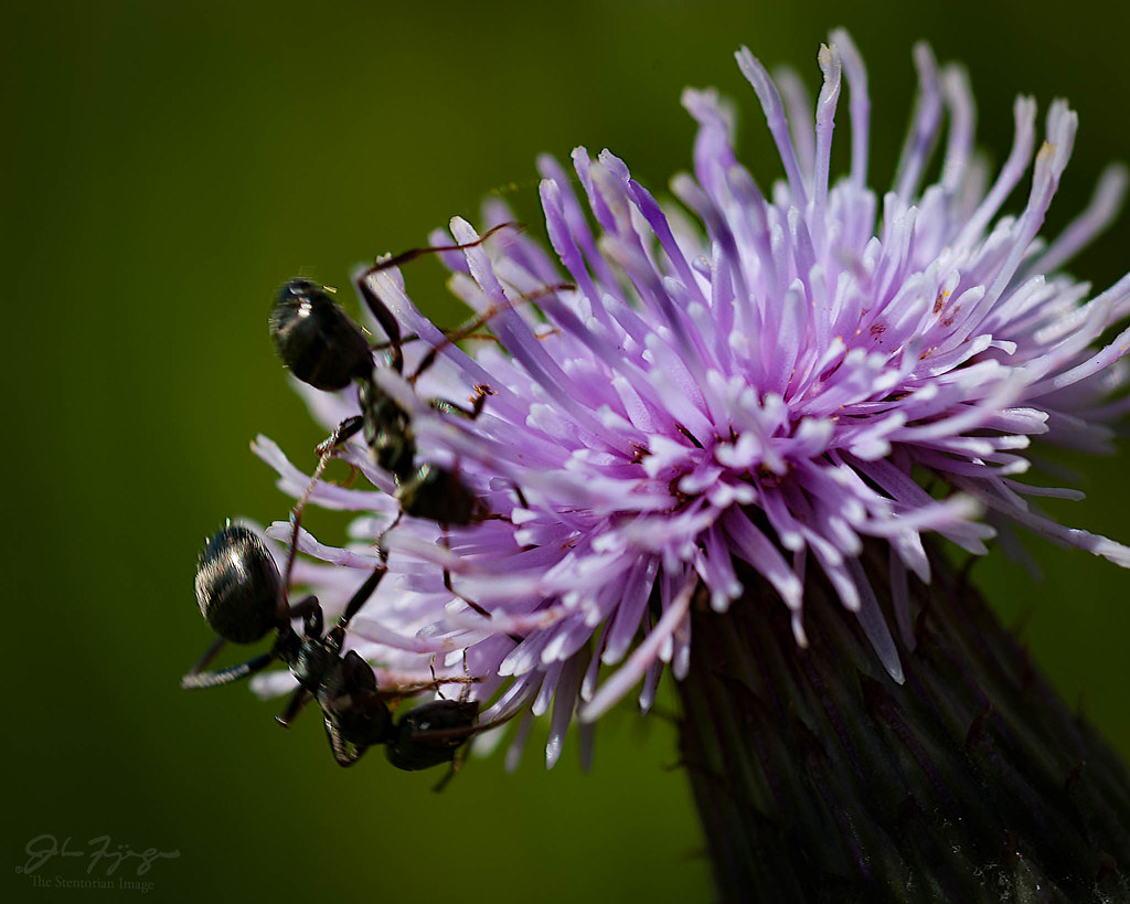 Ants And Thistle