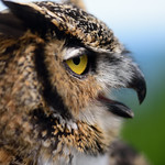 Owl: Beak