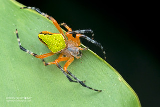 Orb weaver spider (Eriophora nephiloides) - DSC_7999
