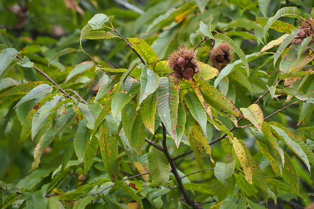 Japanese Chestnut (Castanea crenata)