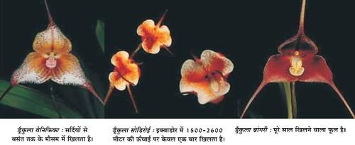 ड्रैकुला आर्किड्स : फूल या बंदर