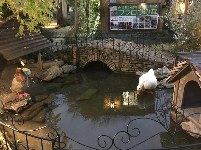 有個小水池,養了大白鵝