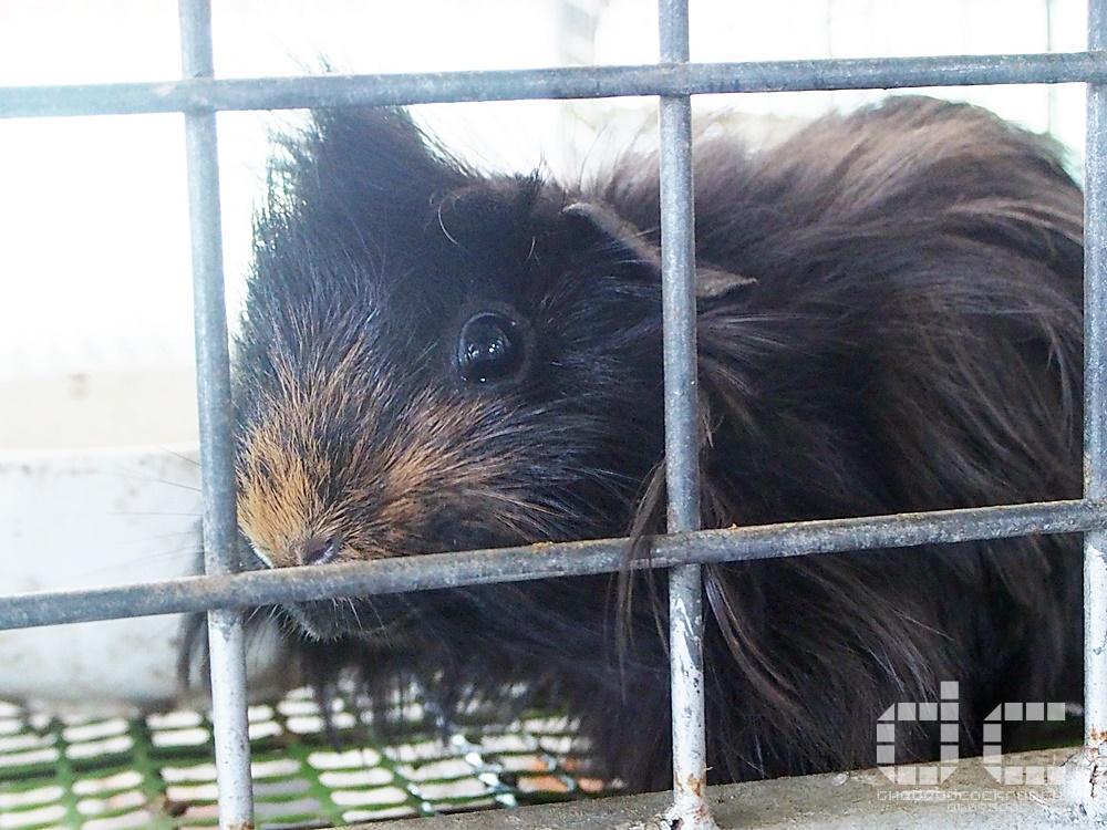 animal corner, farm, farm tour, farmart centre, singapore, where to go in singapore, 农市中心, 農市中心, review,farmart,guinea pig, cavy
