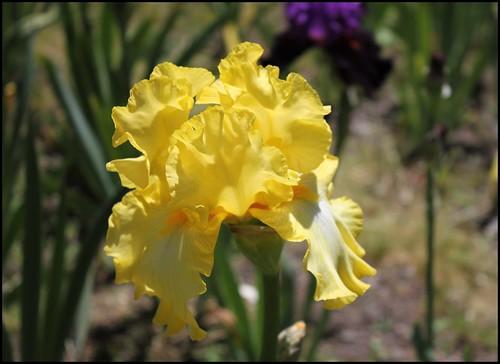 Iris 'Magical Moonlight' - Schreiner 2005 21007954619_efdcee54e0