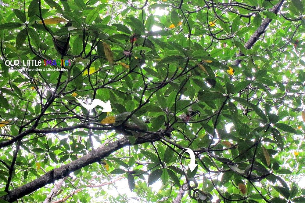 Mangrove Snakes