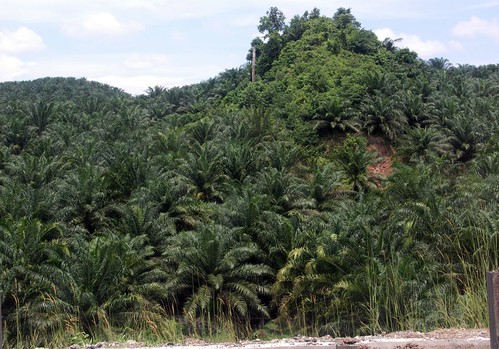 Palm oil trees, Borneo | by Badly Drawn Dad