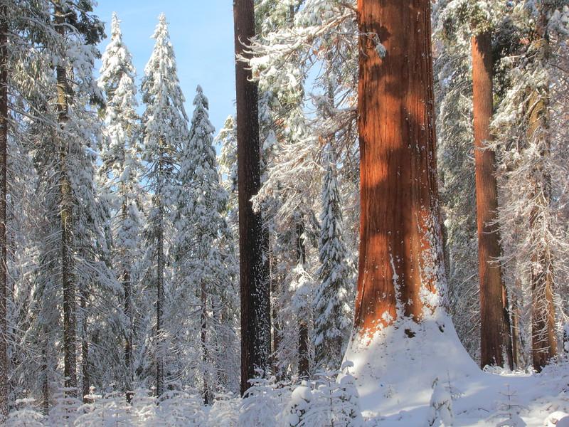 IMG_7240 Giant Sequoia, Tuolumne Grove of Giant Sequoias