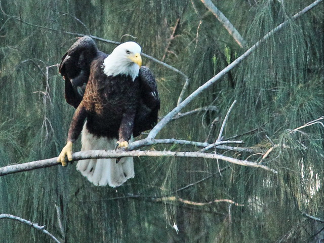 Bald Eagle female Jewel 03-20151024