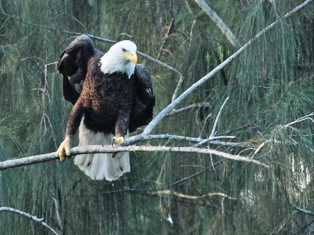 Bald Eagle female Jewel 03-20151024